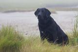 Black Female Labrador Retriever Sitting in Salt Marsh Grass at Low Tide on Foggy Summer Morning