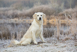Golden Retriever by Pond on Frosty Winter Morning  Canterbury  Connecticut  USA