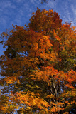 Sugar Maple (Acer Rubrum) in October Color  Central Connecticut  USA