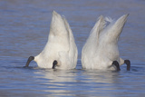 Trumpeter Swan (Cygnus Buccinator) Pair -Bobbing- to Feed  Early Morning on St Croix River