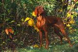 Vizsla by Yellow Autumn Leaves  Andover  Connecticut  USA