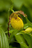 Yellow Lady'S-Slipper (Cypripedium Calceolus) Growing in Deciduous Forest  Michigan  USA