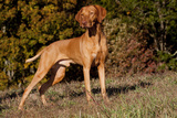 Vizsla Standing on Grassy Hillock with Autumn Foliage