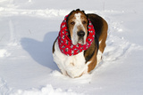 Male Basset Hound(S) in Snow  St Charles  Illinois  USA