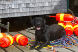 Black Labrador Retriever on Dock with Lobster Trap Buoys and Coils of Boat Rope  New Harbor