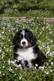 Bernese Mountain Dog Pup in Spring Wildflowers (Anemone)  Elburn  Illinois  USA