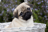 Pug Pup in Silver-Gray Wicker Basket  Santa Ynez  California  USA