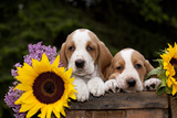 Basset Hound Pups with Sunflowers in Antique Wooden Box  Marengo  Illinois  USA
