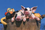 Pair of Spotted Piglets Among Gourds in a Wooden Peach Basket  Freeport  Illinois  USA