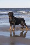 Rottweiler at Ocean's Edge on a Long Island Sound Beach  Madison  Connecticut  USA