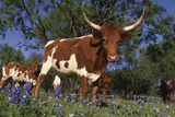 Texas Longhorn Cow in Field of Bluebonnets (Lupine Sp)  Marble Falls  Texas  USA