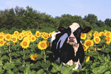 Holstein Cow Standing in Sunflowers  Pecatonica  Illinois  USA