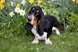 Basset Hound (Young Male) Standing by Daffodils  Woodstock  Connecticut  USA