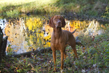 Vizsla Standing by Pool with Autumn Reflections  Pomfret  Connecticut  USA