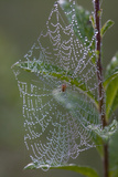 Spider Web and Leaves Soaked with Early Morning Dew in Meaadow  North Guilford
