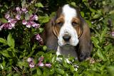 Basset Hound Pup in Flowers  Burlington  Wisconsin  USA