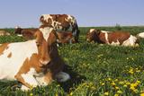 Guernsey Cows in Dandelion-Studded Pasture  Dekalb  Illinois  USA