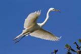 Great Egret (Ardea Alba) in Breeding Plumage