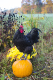 Large Black Australorp Rooster Atop Pumpkin in Autumn Garden  Higganum