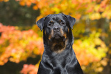 Rottweiler in Autumn  E Haddam  Connecticut  USA