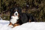 Bernese Mountain Dog Lying in Snow by Spruce Tree  Elburn  Illinois  USA