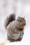 Gray Squirrel Eating Corn During Snow Storm  St Charles  Illinois  USA