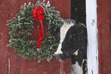 Holstein Cow Portrait with Wreath in Falling Snow  Marengo  Illinois