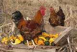 Rooster and Hen Perched on Antique Wooden Wheelbarrow Loaded with Gourds in Late Autumn