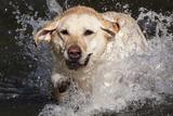 Yellow Labrador Retriever Plunging into Stream to Start Retrieve  St Charles  Illinois  USA