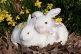 Juvenile New Zealand Rabbit (R) with White Stuffed Toy Rabbit Among Miniature Daffodils