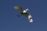 Great Egret (Ardea Alba) in Beeding Plumage  in Flight  Osceola County  Florida  USA