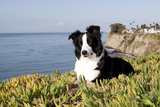 Border Collie in Ice Plant on Bluff Overlooking Pacific Ocean  Southern California  USA