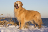 Male Golden Retriever Standing on Snow Covered Rocks at a Long Island Sound Beach  Madison