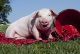 Ground Level View Portrait of White Piglet Eating Strawberries on a Table Cloth with Basket