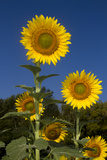 Giant Sunflowers in Bloom  Pecatonica  Illinois  USA