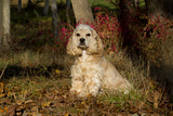 Cocker Spaniel (American Show Type) in Autumn  Pomfret  Connecticut  USA