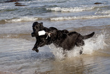 Pair of Black Female Labrador Retrievers Vying for Control of a Training Bumper in Ocean Surf