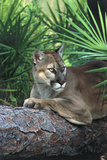 Florida Panther (Felis Concolor) on Fallen Pine Branch Among Saw Palmettos  South Florida  USA
