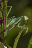 Praying Mantis (Mantis Religiosa) Dew-Soaked at Dawn