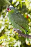 Yellow-Cheeked Amazon Parrot (Amazona Autumnalis)