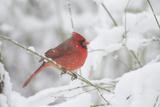 Northern Cardinal (Cardinalis Cardinalis) in Snow Storm  St Charles  Illinois  USA