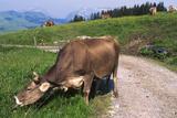 Brown Swiss Cowreaching under Barbed Wire to Eat Alpine Grass  Berner-Oberland Region  Switzerland