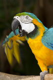 Blue and Gold Macaw (Ara Ararauna) Captive  R- Panama and South Venezuela