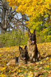 German Shepherd Dog(S) in Autumn  St Charles  Illinois  USA