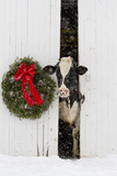 Holstein Cow in Snowstorm by Green Wreath and Red Ribbon, St. Charles, Illinois, USA Papier Photo par Lynn M. Stone
