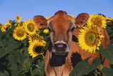 Portrait of Jersey Cow in Sunflowers  Pecatonica  Illinois  USA