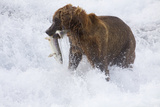 Drenched Grizzly Bear (Ursus Arctos) Carries its Prize
