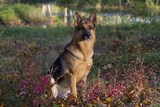 German Shepherd Dog by Pond in Autumn  Pomfret  Connecticut  USA