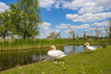 Swan on the Shore of a Lake in Spring