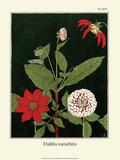 Botanical Print  Dahlias  1905